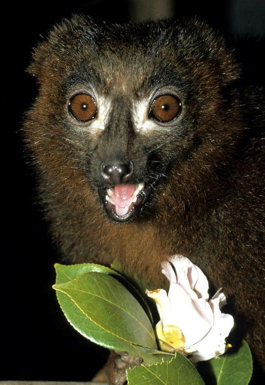 Che cosa è la parola telefono rosso lemure
